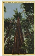 Californien USA 1952 Redwood Highway the founders Tree Tallest Living Tree albero