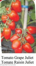 JULIET Tomato GRAPE Tomate RAISIN RED Heirloom 10 Seed GREAT TASTY CANADA +GIFT