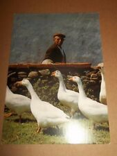 REAL IRELAND * TAKING A GANDER AT GEESE * POSTED EXCELLENT POSTCARD