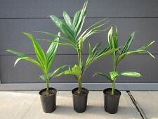 Archontophoenix alexandrae - Feuerpalme - Pflanze 50-70cm