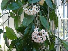 A FRAGRANT  HOYA  'CARNOSA' CLIMBING PLANT