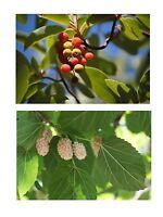 Zwei paradiesische Bäume: der Erbeerbaum und der weiße Maulbeerbaum !