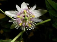 Passiflora adenopoda Velcro Passionflower 10 seeds