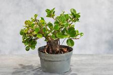 Great Green Island Ficus Pre-Bonsai Tree w/ Round Leaves! Hardy Tropical w/ Figs
