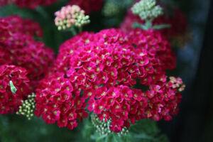 Achillea mil. Pomegranate - 2litre pot- Good for bees & butterflies