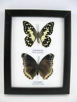 2 papillons - taxidermie, exotiques, réel - une beauté unique Naturalise   01