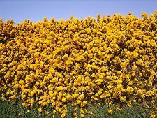 3 Gorse Hedging Bush,Prickly Furze Plants,Fragrant Yellow Whin Evergreen Hedge