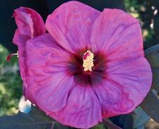 """BERRY AWESOME Hardy Hibiscus  --  Plant in 4.5"""" pot"""