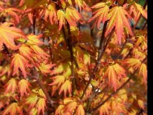 Japanese Acer 'Orange Dream. orange/yellow new foliage with a dark orange edge.