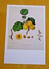 RHS FRUIT & VEGETABLE POSTCARD ~ BRUSSELLS APRICOT BY WILLIAM HOOKER, 1779-1832
