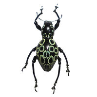 Pack of 4 rhinoscapha insignis weevils 2025 mm  FREE SHIPPING