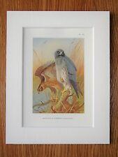 Archibald Thorburn - Hen Harrier - Mounted Vintage 1920s Bird Print (75)