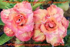 """ADENIUM OBESUM DESERT ROSE  """" TRIPLE TROPICAL SUNSET """" 10 seeds NEW HYBRID"""