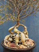 SCHIZOBASIS INTRICATA exotic rare caudex flower bonsai onion cactus seed 5 seeds