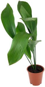 Aspidistra elatior - Schusterpalme ↑ 50 cm - exotische Grünpflanze, pflegeleicht