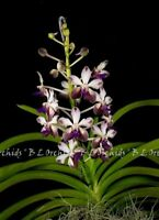 "Vandachostylis ( V. lamellata-Noi Blue  X Rhy. coelestis ) ""Plum Star""  IN SPIKE"
