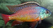 Four Fish Colony Red Empress Haplochromide African Cichlid 1.5 inch  GUARANTEED