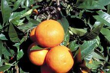 Cold-hardy Bitter orange / marmalade orange Tree ( Citrus aurantium ) - 25 seeds