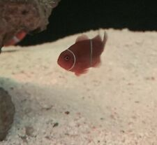 Maroon Clownfish Marine Saltwater Fish Pair Bred From Lightning Maroon Parents