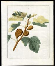 Antique Print-FIG-FRUIT-Pomologia-Knoop-1758