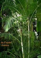 Chamaedorea elegans @ Bergpalme @ Palme @ Zimmerpalme @ Kübelpflanze @ 10 Samen