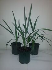 FLORIDA GROWN XL SABAL PALMETTO PALM TREES - COLD HARDY 10 F - PLANT OUTDOORS