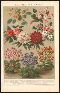 1897 Lithographie originale Cyclamen Camélia Fleurs Botanique
