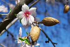 Large 4-5ft Sweet Almond Tree 'Robijn' In 5L Pot, Ready To Fruit, Nice Flowers