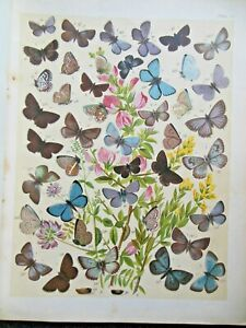 Original Edwardian Colour Lepidoptera Print (1906) Insects, Butterfly, Nature 15