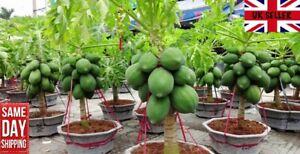 Dwarf Papaya. 15 fresh seeds July 2021. Same Day Dispatch