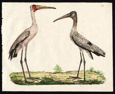Rare Antique Bird Print-YELLOW BILLED STORK-WOOD STORK-Strack-1819