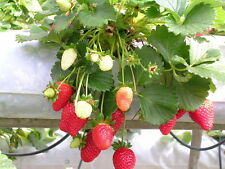 20 graines de Fraisier Ostara (fraise Fragaria ananassa)/ 20 seed Red Strawberry