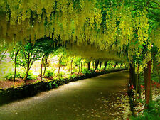 25 Seeds of Cassia Fistula Almatas Golden Shower Kanikonna Tree for Growing