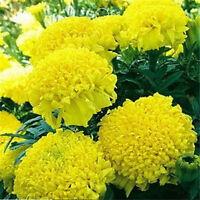 FD1550 African Marigold Flower Seed Tagetes Garden Flower ~1 Pack 50 Seeds~Hot A