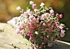 BABYS BREATH 'Rose' 350+ seeds gypsophila elegans pink flower garden arranging