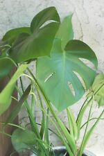 "~GORGEOUS~12""-14"" 2-3 leaf Split Leaf Philodendron 'Monstera' rooted cutting"