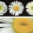 """48""""x24"""" WHITE DIPTYCH by PIP BLOOMFIELD DAISY CLOSEUPS FLOWERS PHOTO CANVAS"""