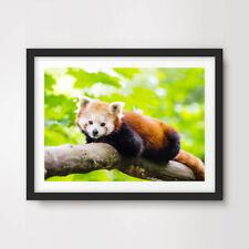 RED PANDA ANIMAL WILDLIFE PHOTOGRAPHY ART PRINT Poster 20x30 30x40 40x50 cm