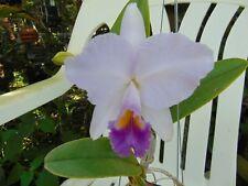"New listing Cattleya trianae var. coerulea Flower 4"" pot Imported Species"