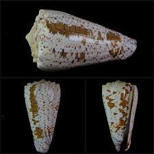 Conus, (Stephanoconus) imperialis fuscatus (var.), Tulear, Madagascar, 68,6 mm
