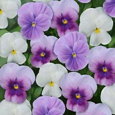 50 Viola Seeds Sorbet XP Mix Orchid Berry Frost
