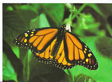 Animal Postcard - Insect - Monarch Butterfly - Danaus Plexippus   AB1829