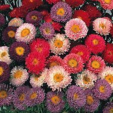 Fleur-Grosses graines-paquet illustré-ASTER-Autruche Plume Mélangé