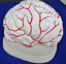 Model Anatomy Professional Medical Educational Brain Model Artery IT-047 ARTMED