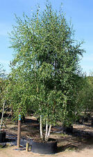 Silver or European Birch Seed Medicinal Deciduous Medium Tree - Betula pendula