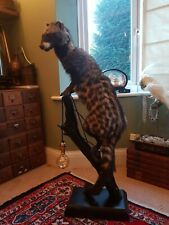 Taxidermy African civet cat Light Up Table Lamp Unusual Curio fox real animal 🐱