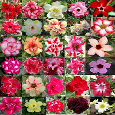 500 Seeds Adenium Obesum Desert Rose Mixed Colors REGISTERED TRACK ONLINE