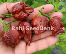 Butch T X Douglah Chocolate - A Cross Chilli Created from 2 World Hottest Chilli