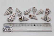 Liguus Virgineus Malacologia Lote 10 Conchas del mar
