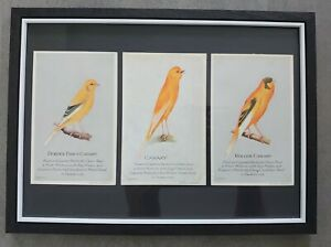 Set of 3 Vintage 1926 Capern's Bird Food Postcards Canary Framed